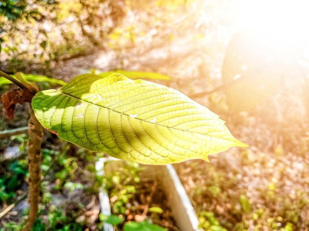 green borneo kratom benefits