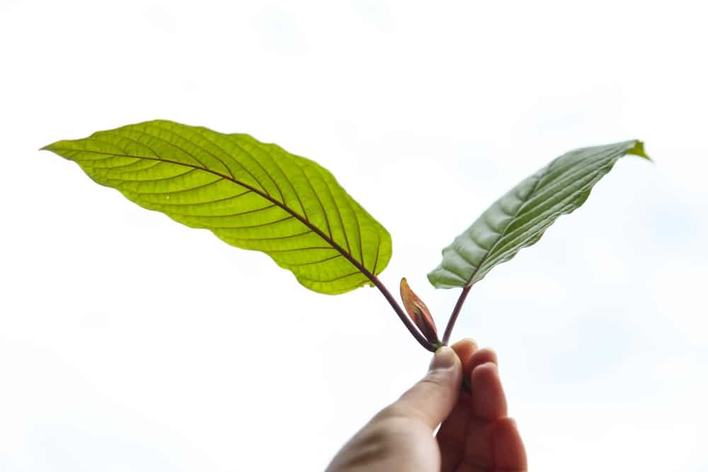red sumatra kratom leaf benefits