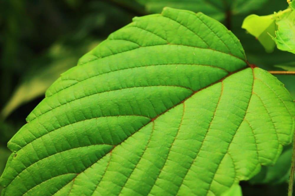 Green Papua Kratom Benefits