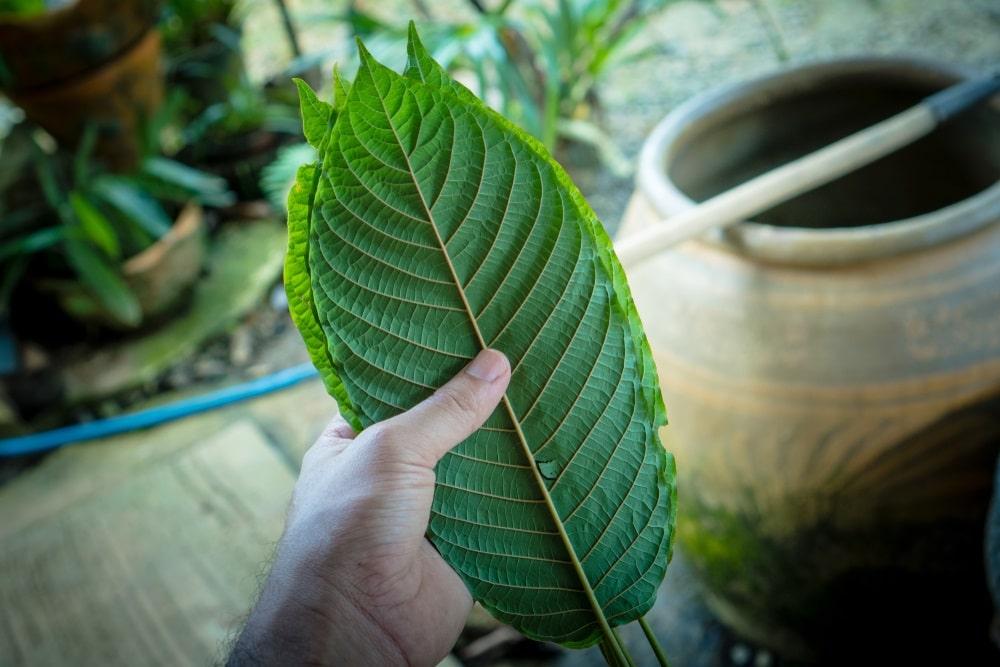green cambodian kratom dosage
