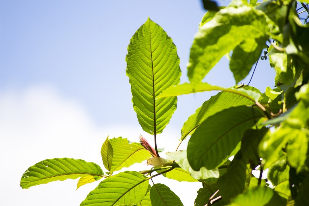 green vietnam kratom benefits