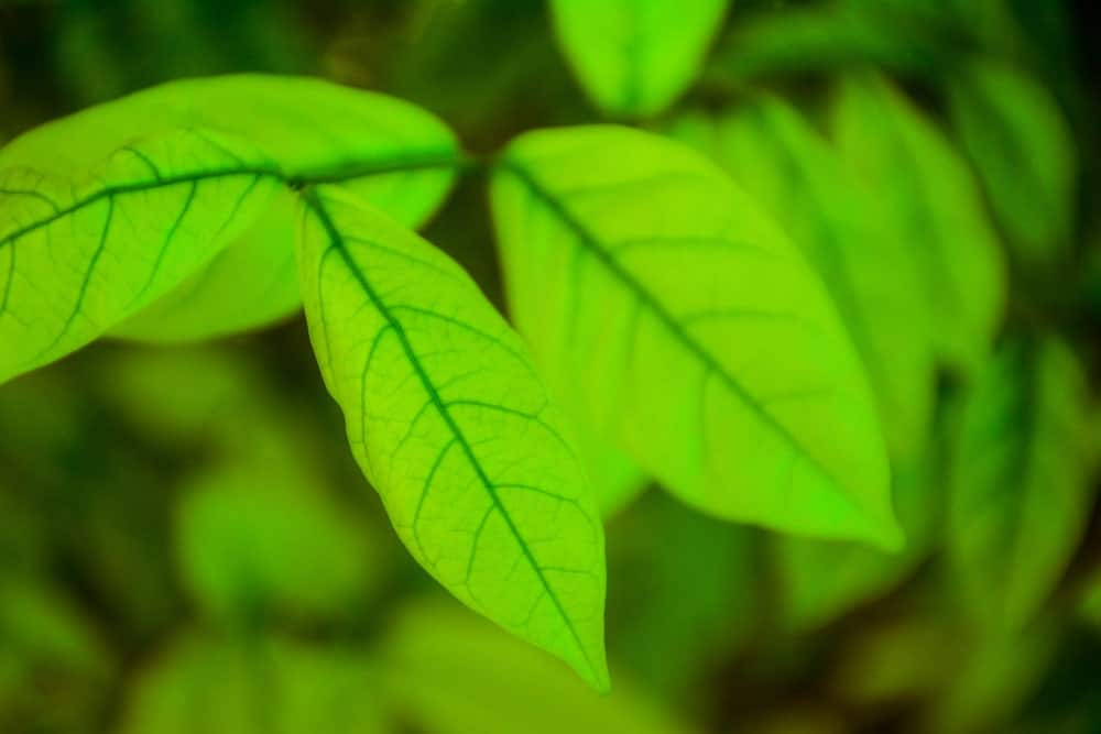 Gold Elephant Kratom Benefits