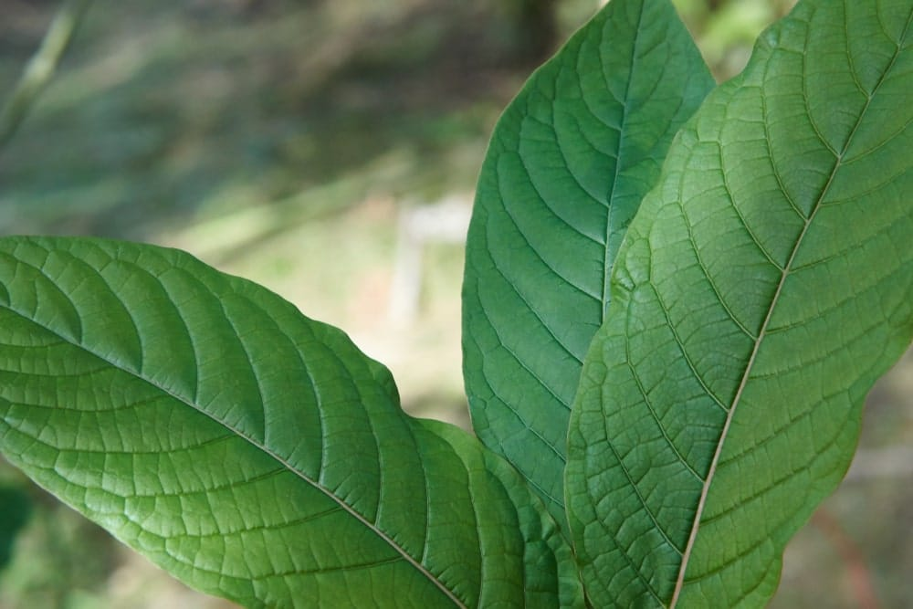 Gold Elephant Kratom Dosage
