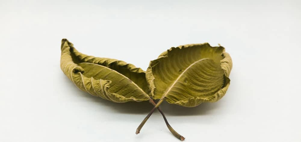 Yellow Elephant Kratom Benefits