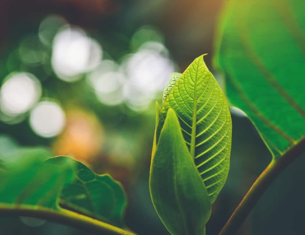 Yellow Malay Kratom Benefits