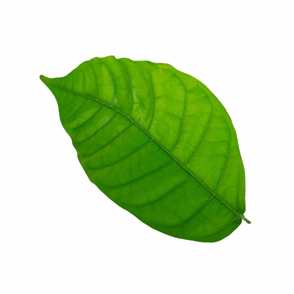 Yellow Vietnam Kratom Dosage